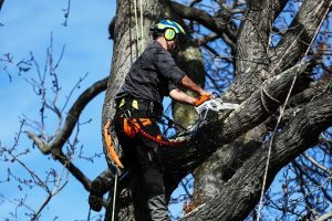 Tree Management with the Royal Botanic Gardens Victoria